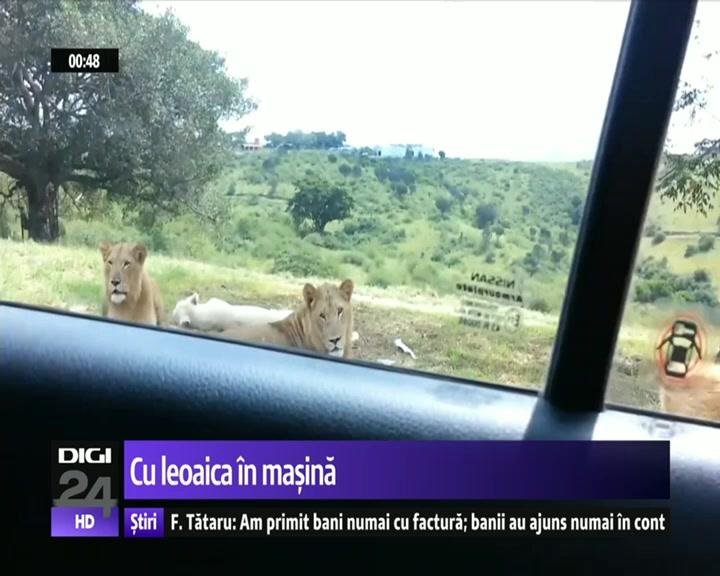 Safari cu emotii. O leoaica deschide usa masinii